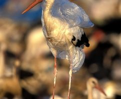Carmel and Pacific Grove Latest California Cities to Ponder Plastic Bag Ban